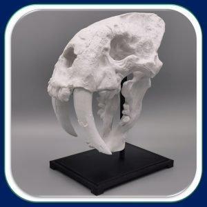 Solutions Efikeco - Crâne de tigre à dents de sabre 1