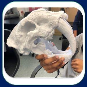 Solutions Efikeco - Crâne de tigre à dents de sabre 2